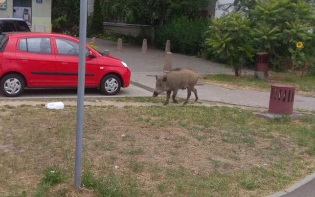 Zwierzę wzbudziło zainteresowanie, ale też obawy mieszkańców Jelonek.