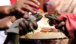 Zaślubin żabiej pary dokonano 19 lipca tego roku