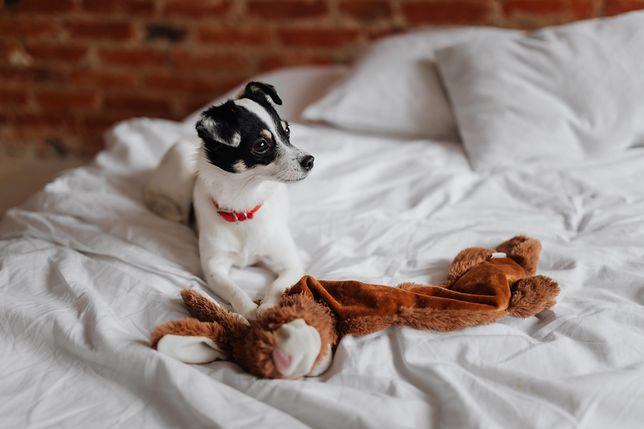 Pies w łóżku czy obok łóżka? Behawioryści mówią wprost