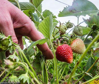 Truskawkowe zagłębie w tarapatach. Na polach zgnić może nawet 7 tys. ton owoców