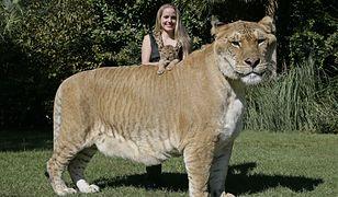 Legrys bije rekord Guinnessa. To największy kot świata