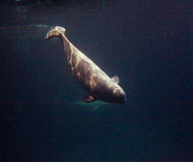 Wieloryb w Tamizie!