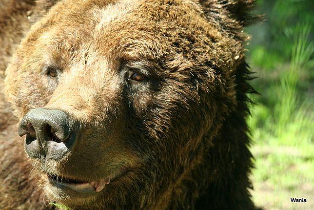 Jeden z niedźwiedzi z poznańskiego zoo został uśpiony