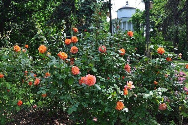 Warszawa zakwitnie różami. Dopiero na wiosnę