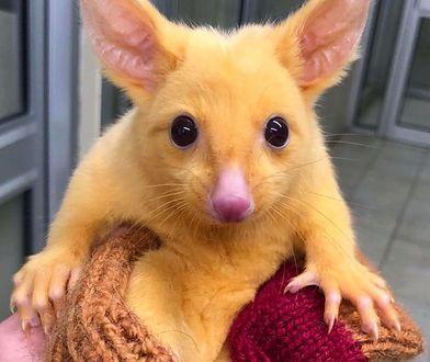 Australia: Znaleziono zwierzę podobne do słynnego Pikachu