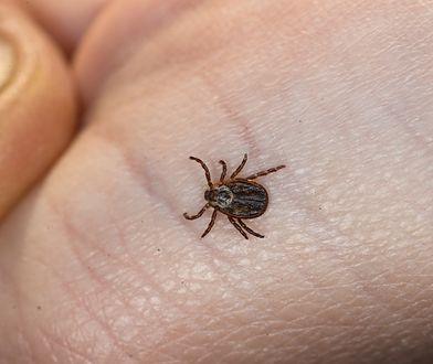 Kleszcze – W Małopolsce padł rekord zachorowań na boreliozę. Warszawa też jest zagrożona plagą pajęczaków?