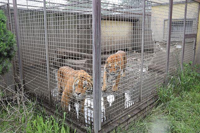 Tygrysy odebrane z nielegalnej hodowli w Pyszącej.