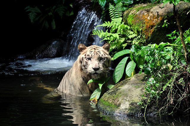 Biały tygrys żyjący w Zoo w Singapurze