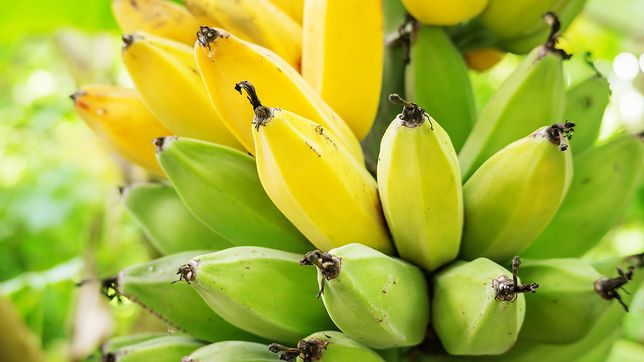Banany mogą zniknąć ze sklepu. Groźny grzyb atakuje kolejne plantacje