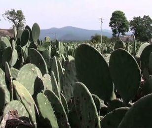Elektrownia zasilana kaktusami. Pierwsza taka na świecie