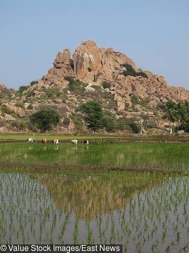 Posadzą ryż nawet na środku pustyni. To rozwiązanie może podwoić produkcję całej planety