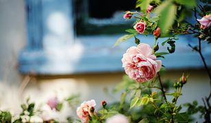 Jak rozmnożyć różę z łodygi? Ta sztuczka może zaskoczyć