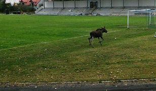 Łoś spacerował po stadionie miejskim