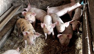 ASF - wykryto ognisko choroby. Padło kilka świń w gospodarstwie