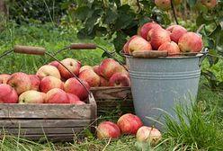 Polskie jabłka czekają długie podróże