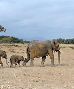 Wszystkie słonie na świecie zagrożone wyginięciem. Naukowcy biją na alarm