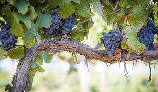 Winnice przesuwają się na północ
