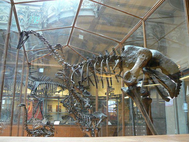 Szkielet mamutaka w Muzeum Historii Naturalnej w Paryżu