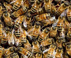 Polak zatruł 60 pszczelich rodzin. Policja już go zatrzymała. Oszacowano straty