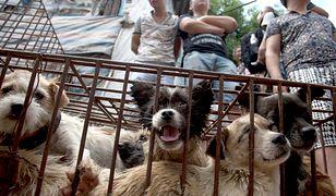 Najstraszniejszy festiwal świata. W Chinach zginą tysiące psów