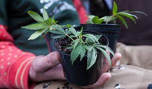 Wiesław Dębski: politycy ciągle zmieniają zdanie w sprawie marihuany