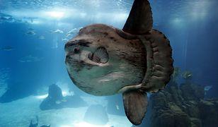 Egzotyczna ryba w Bałtyku. Jej wnętrzności są trujące