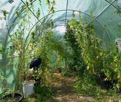 Marihuana rosła między grządkami pomidorów. Policja złapała plantatora