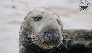 Foki mogą liczyć w Helu na fachową opiekę ze strony pracowników Stacji Morskiej