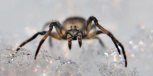 Globalne ocieplenie ma wpływ na wzrost populacji arktycznych pająków