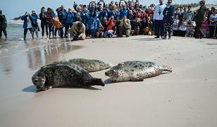 Turyści zapowiadają bojkot smażalni. W obronie fok, na które zawzięli się rybacy