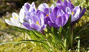 Pierwszy dzień wiosny 2020. Kiedy pierwszy dzień wiosny astronomicznej, a kiedy kalendarzowej?