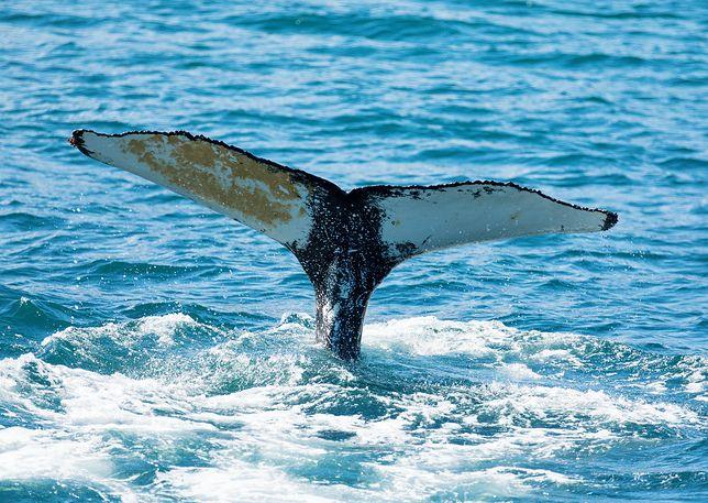 Wielorybie wymiociny są warte miliony