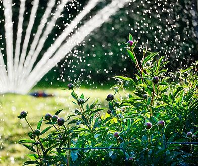 Aby ogród zachwycał bujną zielenią i pięknymi kwiatami, nie możesz skąpić mu wody. Bez niej byliny i krzewy marnieją w okamgnieniu, a trawnik zmienia się w pustynię.