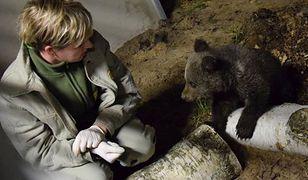 Mała niedźwiedzica uratowana w Bieszczadach znalazła nowy dom w poznańskim zoo