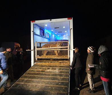 """Poznań. Rzeczniczka zoo o tygrysach. """"Jesteśmy przekonani, że doszło do przemytu"""""""