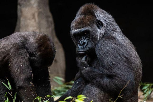 USA. COVID-19 wśród goryli
