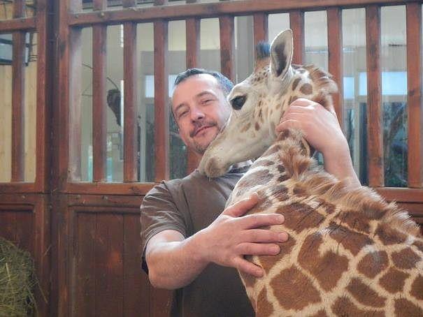 """Żyrafek ma nowego przyjaciela. """"Pan Rafał to kumpel od mleka i spacerów"""""""