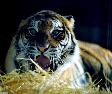 Tygrysy z Polski są już w Hiszpanii. Czują się dobrze
