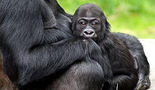 Samica goryla z młodym