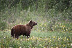 Blady strach w Zakopanem. Widziano niedźwiedzicę