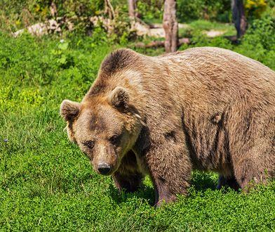 Niedźwiedź prawdopodobnie szuka samicy