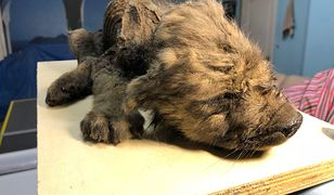 Znalezione w syberyjskiej zmarzlinie zwierzę może być wilkiem, psem lub przodkiem obu gatunków
