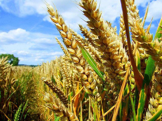 Współczesna przetworzona pszenica vs. pszenica naturalna