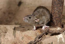 Mieszkańcy Wrocławia alarmują: dużo martwych szczurów na rynku. Jest odpowiedź władz miasta