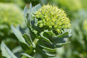 Różeniec górski – naturalny lek na jesienne dolegliwości. Poprawi nastrój i doda energii.