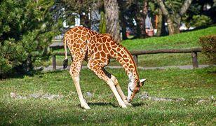 Żyrafek Gortat pierwszy raz na dużym wybiegu. Wpadł do fosy [ZDJĘCIA]