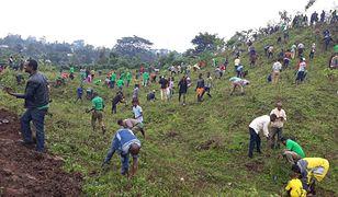 Etiopia sadzi drzewa. W ciągu jednego dnia posadzono 350 mln roślin