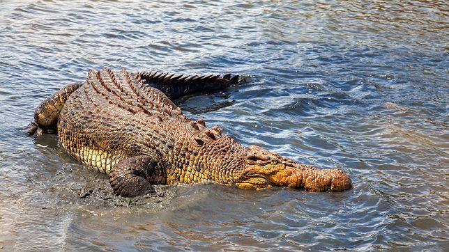 Krokodyl australijski, zdjęcie ilustracyjne