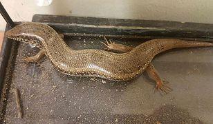 Jaszczurka, którą znaleziono w Warszawie
