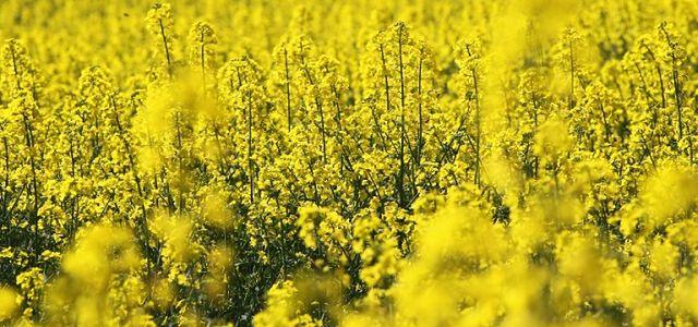 Rolnicy trują chemikaliami rzepak
